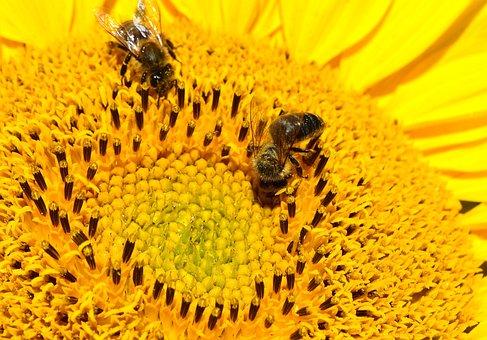Bees, Sun Flower, Yellow, Close, Plant, Summer, Flower