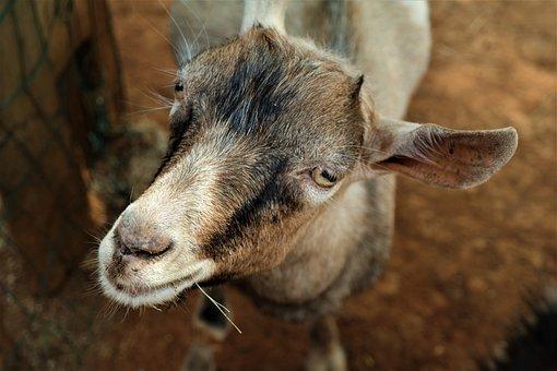 Goat, Portrait, Livestock, Animal, Mammal, Creature