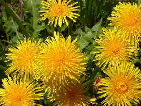 Flower, Dandelion, Spring, Yellow