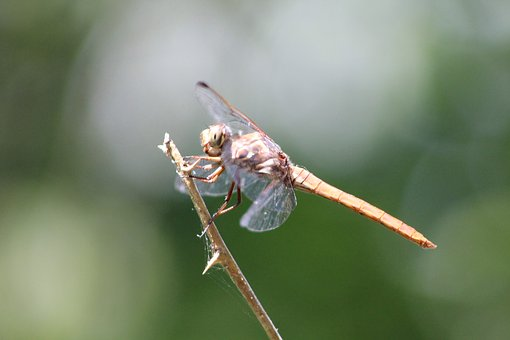Dragonfly, Rockport, Coastal Bend, Wetlands, Texas