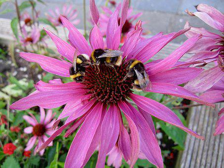 Bumble Bees, Echinacea, Insect, Nature, Bee