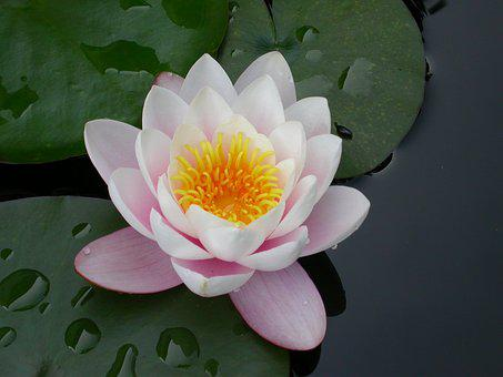 Flower, Water Lily, Pink