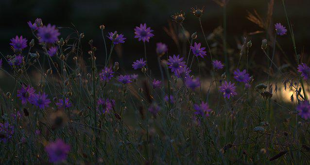 Flowers, Immortelle, Camp, Sunset, In The Evening