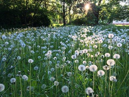 Dandelion, Landscape, Meadow, Grass, Pointed Flower