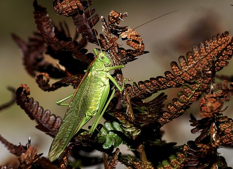 Grasshopper, Insect, Viridissima, Flight Insect, Green