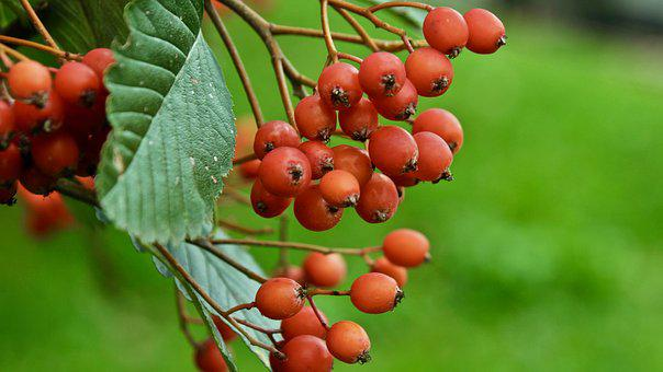 Green, Rowan, Autumn, Fruit, Rowan Berries, Plant