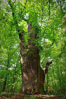 Hornbeam, Tree, Old, Large, Park, Autumn, Green, Forest