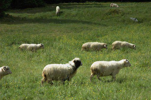 Sheep, Tatry, Nature, Pasture Land, Animal, Holiday