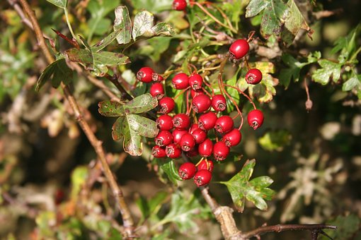 Hawthorn, Haws, Berries, Red, Fruit, Plant, Nature
