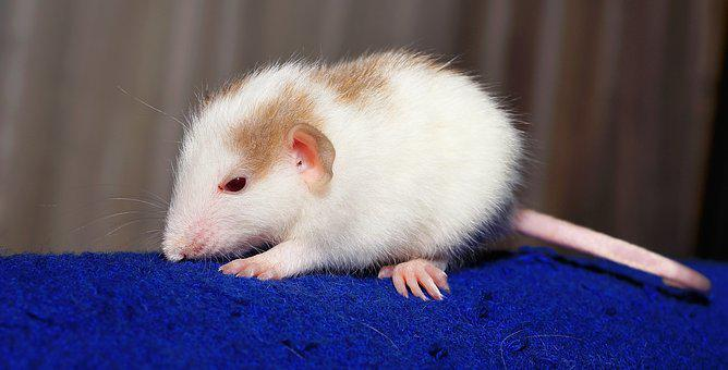 Rat, Color Rat, Young, Animal, Mammal, Ears, Cute, Head