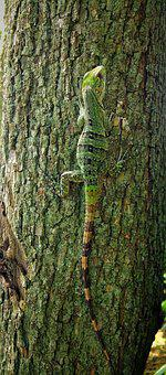 Lizard, Green, Reptile, Bark, Tree, Stripes, Camouflage