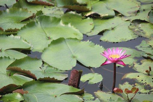 River, Lotus, Red Lotus