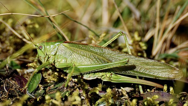 Grasshopper, Insect, Flight Insect, Viridissima, Close