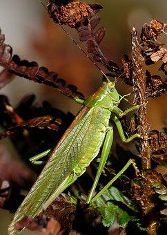 Grasshopper, Insect, Viridissima, Flight Insect, Close