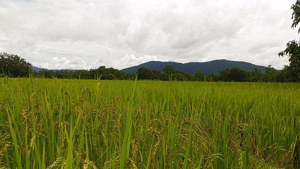 Nature, Feelings, Real, Rice Tree, Rice, Sky, White Sky