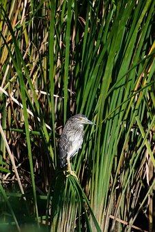 Animal, River, Waterside, Waterweed, Wild Birds, Heron