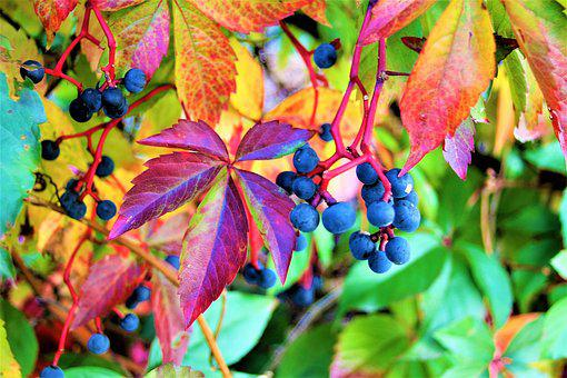 Foliage, Grapes, Colorful, Autumn, The Bunches, Fruit
