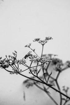 Bee, Flower, B W