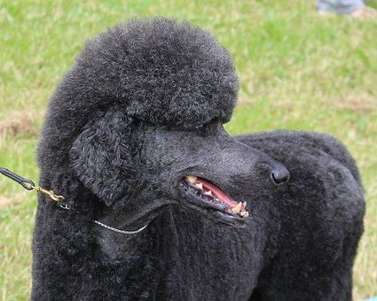 Black Dog, Poodle, Animal, Pet, Domestic, Groomed