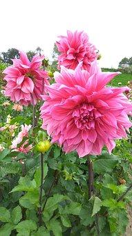 Dahlia Garden, Blossom, Bloom, Garden Plant