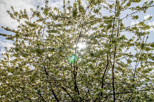 Blossoms, Sun, Flowers, Tree, Growth, Cherry, Sunbeam