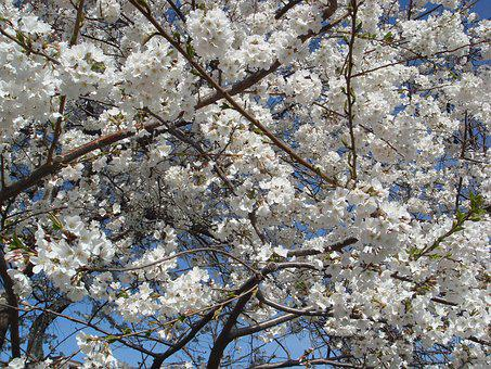 Cherry Blossoms, Blossoms, Flowers, Trees, White