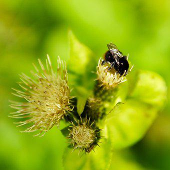 Bumblebee, Thistle, Flower, Bee, Nature, Insect, Plant