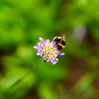 Bumblebee, Clover, Flower, Insect, Nectar, Grass, Macro