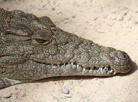 Crocodile, Lizard, Risk, Africa, Alligator, Animal