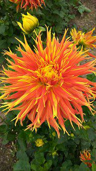 Dahlia, Blossom, Bloom, Late Summer, Garden