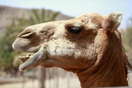 Camel, Africa, Desert Ship, Desert, Sand, Camel Riders