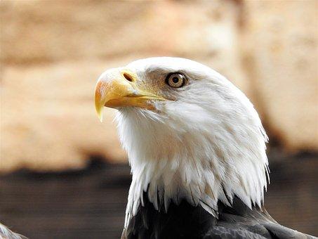 Bald Eagle, Eagle, Bald, Freedom, American, Symbol