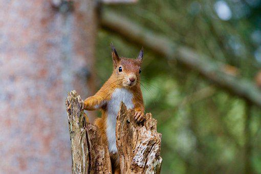 Squirrel, Red, Wildlife, Nature, Forest, Brown, Mammal