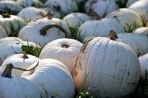 White, Pumpkin, Thanksgiving, Harvest, Holiday, Autumn
