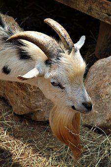 Goat, Horns, Mammals, Animal, Billy Goat, Bart