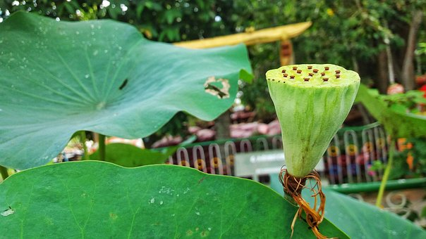 Ii Sen, Lotus, Lotus Flowers