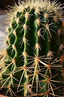 Mini Cactus, Succulent Plant, Nature