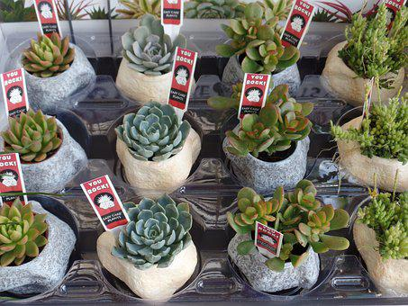 Succulent, Plants, Potted, Green, Nature, Botanical