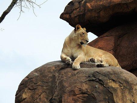 Lion, Wild, Animal, Wildlife, African, Predator, King