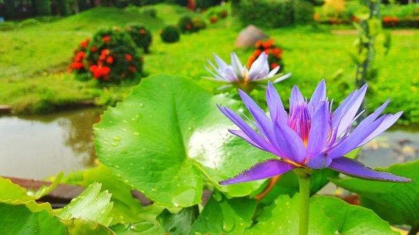 Lotus Flowers, Lotus, Lotus Purple, Purple Flowers