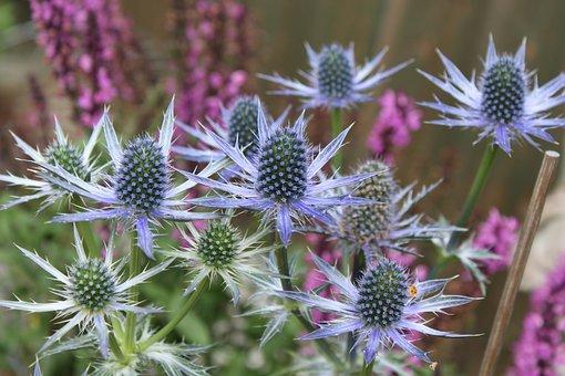 Thistle, Steel Blue, Blue Flowers, Thistles