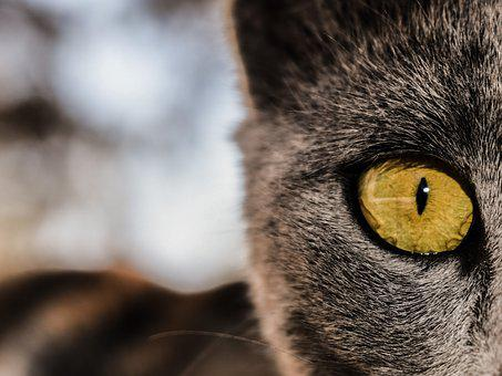 Eye, Cat, Feline, Animal, Watching