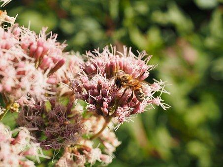 Big Fat Hen, Bee, Pollination, Stonecrop