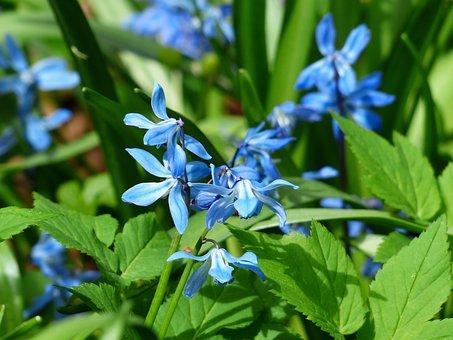 Bluebell, Flower, Blossom, Bloom, Blue