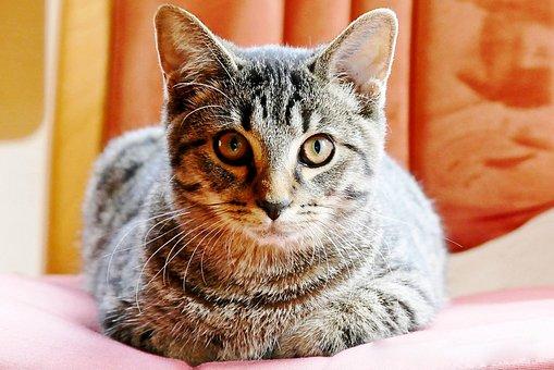 Cat, Getiegert, Graugetiegert, Cute, Eyes, Feel At Home