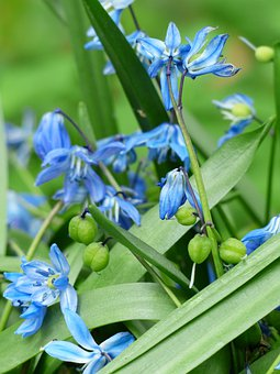 Bluebell, Flower, Blossom, Bloom, Fruits, Capsules