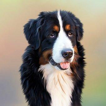 Dog, Bernese Mountain Dog, Berner, Senner Dog, Image