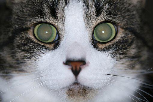 Cat, Eyes, Stare, Face, Animal, Domestic, Cute, Kitty