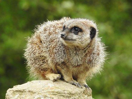 Meerkat, Animal, Mammal, Zoo, Nature, Cute, Wild
