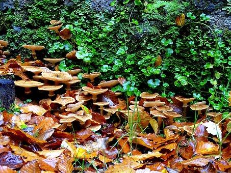Armillaria Mellea, Mushrooms, Mushroom, Forest, Nature